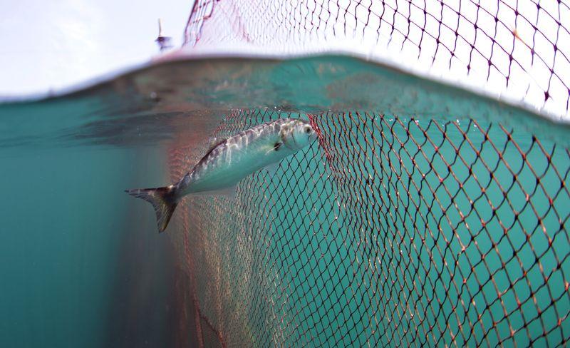 Lüfer / Bluefish